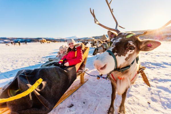 Reindeer pulling sleigh in lapland