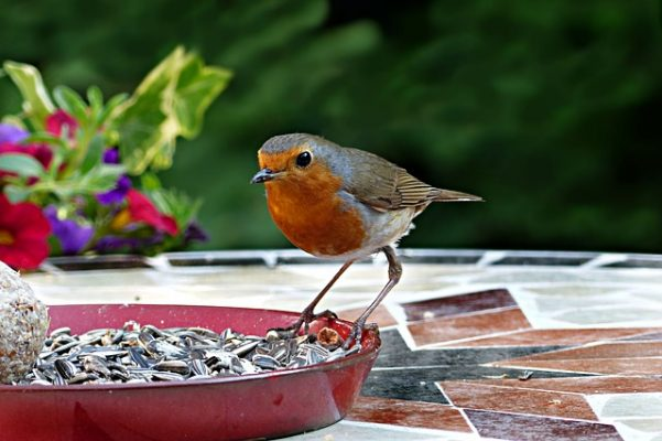 robin eating bird seed