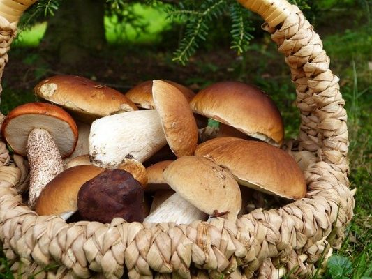 basket of foraged wild mushrooms